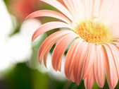 Closeup of pink daisy-gerbera. Shallow DOF — Stock Photo