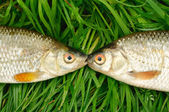Two fish on green grass — Stock Photo