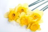 Yellow narcissus — Stock Photo
