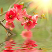 Spring blossom reflected in the water — Stock Photo