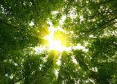 Slunce v hlubokých lesích — Stock fotografie