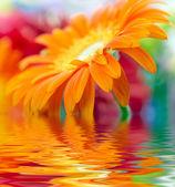 Closeup photo of orange daisy-gerbera — Stock Photo