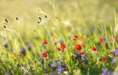 Red field flowers with green crops. Shallow DOF — Stock Photo