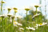 поле ромашек — Стоковое фото