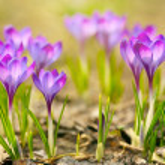 Spring crocus flowers — Stock Photo