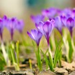 Stock Photo: Spring crocus flowers