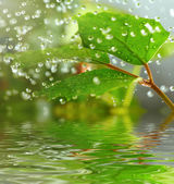 Green leaves in the rain — Stock Photo