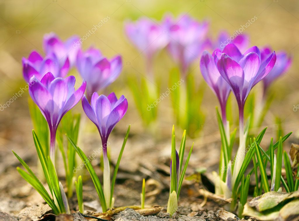 Spring crocus flowers  Stock Photo #9820883