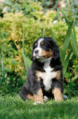 Bernese Mountain Dog puppy portrait — Stock Photo
