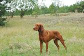 Hungarian Vizsla dog — Stock Photo