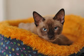Siamská kočka — Stock fotografie