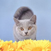 Gatita british shorthair — Foto de Stock