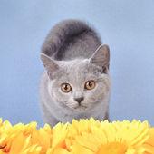 英国短毛猫小猫 — 图库照片