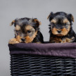 Yorkshire terrier Dog puppies portrait — Stock Photo #9164505