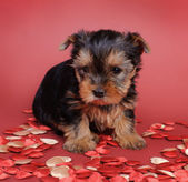 Yorkshire terrier hond puppy portret — Stockfoto