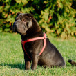 Shar-pei dog  portrait — Stock Photo