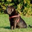 Stock Photo: Shar-pei dog portrait