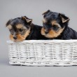 Yorkshire terrier Dog puppies portrait — Stock Photo #9357869