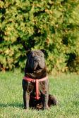 Shar-pei dog portrait — Stock Photo