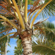 Exotic coconut palm tree on the beach — Stok fotoğraf