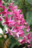 Bunch of exotic pink orchids — Stock Photo