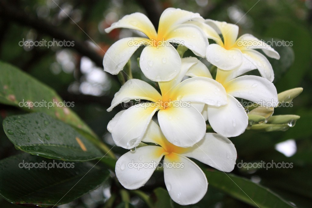 fleurs blanches exotiques et feuilles vertes photographie ego450 8788686. Black Bedroom Furniture Sets. Home Design Ideas