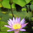 Natural Water Lily — Stock Photo