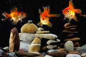 Funny Goldfish in aquarium — Stok fotoğraf
