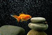 Zen goldfish — Stock Photo