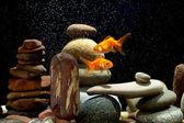 пара золотая рыбка — Стоковое фото