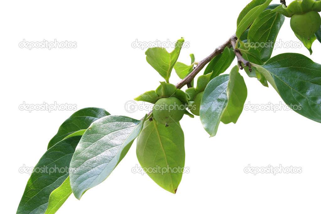 Branch of ebony with fruit and leaves — Stock Photo #8019340