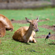 Stock Photo: Small deer