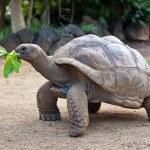 Big Seychelles turtle eat. La Vanille Reserve park. Mauritius. — Stock Photo #10488465