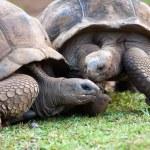 Big Seychelles turtle in La Vanille Reserve park. Mauritius. — Stock Photo #10488471