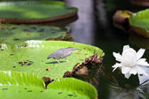 Bird on a leaf Victoria amazonica ( Victoria regia) — Stock Photo