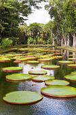 The lake in park with Victoria amazonica, Victoria regia. — Stock Photo