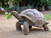 Big Seychelles turtle eat. La Vanille Reserve park. Mauritius. — Stock Photo