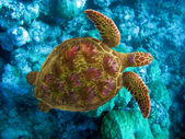 Indian ocean. Underwater world- Turtle in stones — Stock Photo