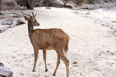 Deer on sand — Stock Photo