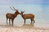 Two deer in sea — Stock Photo