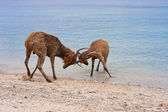Two deer butt horns at ocean — Stock Photo