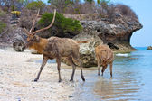 The deer leaves the sea on coast — Stock Photo
