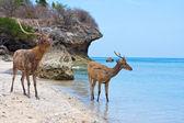 海岸近くの砂浜のビーチの上に立って鹿 — ストック写真