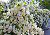 Bush with white flowers- Beautiful Spirea. (Spirea x vanhouttei) — Stock Photo