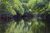 Tropical thickets mangrove forest on the Black river. Jamaica — Stock Photo