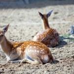 Reindeer fawn — Stock Photo