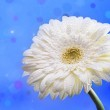 White daisy on a blue abstract background — Stock Photo