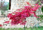 Brightly red autumn tree — Stock Photo
