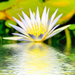 Water lily — Stock Photo #10470551