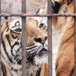 Captivity animal - Stock Photo